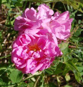 Une rose ancienne rosa damascena bifera rose visible à la roseraie de Gérenton à Bédoin