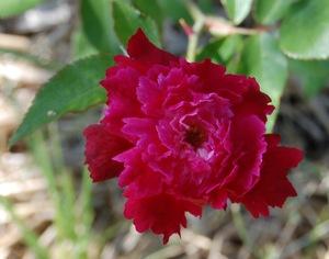 le rosier président d'olbècque en fleur