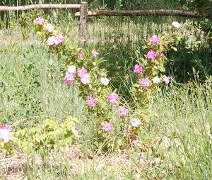 Le rosier Bermuda Kathleen en fleur