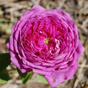 La fleur mauve du rosier Frédéric II de Prusse