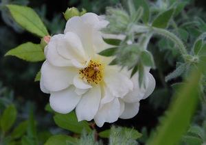 La fleur de Ghislaine de Féligonde rosier ancien à la roseraie de gérenton