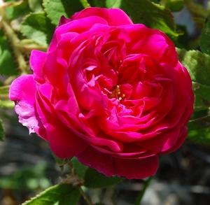 La fleur du rosier Henri Martin