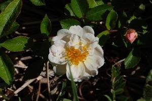 Fleur du rosier Kathleen à la roseraie de gérenton