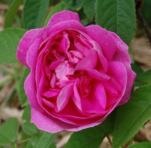 La fleur du rosier Marie de Blois disponible à la roseraie de gérenton