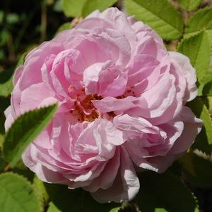 la fleur du rosier Mme Louis Lévêque