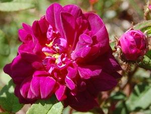le rosier nuits de young en fleur à la roseraie de gérenton bedoin vaucluse