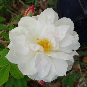 La fleur du rosier princesse de Nassau à la roseraie de gérenton à Bédoin dans le vaucluse