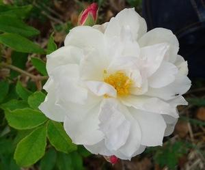 le rosier princesse de nassau sur roses anciennes du ventoux