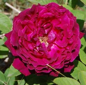 River's George IV en fleur à la roseraie de gérenton à bedoin vaucluse