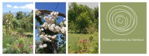 la roseraie de gérenton en fleur au pied du ventoux