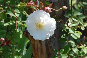 La rose du rosier adélaîde d'orléans à la roseraie de gérenton