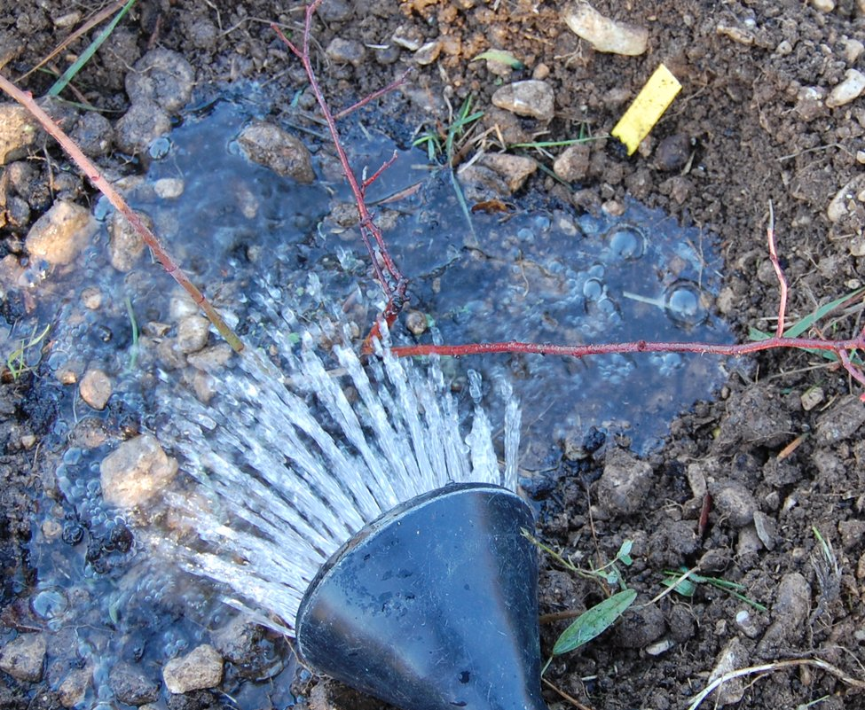 Arrosage du rosier tout juste planté à la roseraie de gérenton sur le site roses anciennes du ventoux