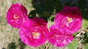 Le rosier assemblage de beautés en fleur disponible à la roseraie de gérenton et sur le site roses-anciennes-du-ventoux.com