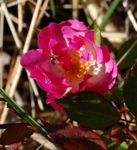 La fleur de bengale pakistan