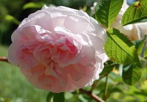 la fleur du rosier chloris