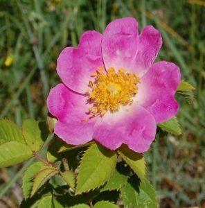 la fleur du rosier complicata