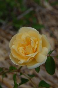 La fleur du rosier Danaë à laroseraie de gérenton à Bédoin