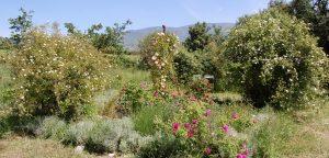 le jardin de la roseraie de gérenton en fleur