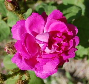 la fleur presque simple du rosier ancien goethe