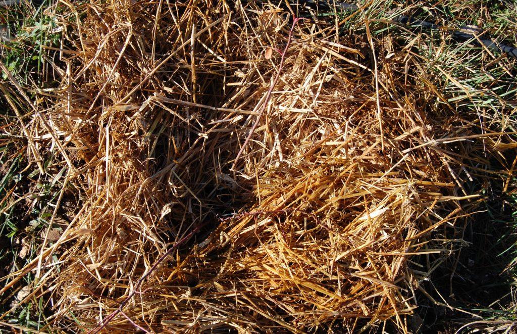 paillage du rosier juste planté à la roseraie de Gérenton