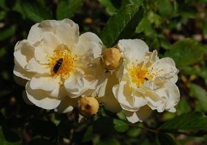 Les fleurs du rosier lykkefund sur roses anciennes du ventoux