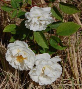Les fmleurs du rosier neige d'avril