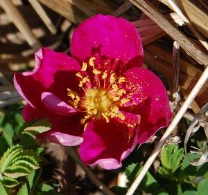 nelly kelly en fleur à la roseraie de gérenton bedoin vaucluse france
