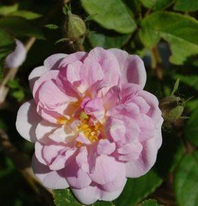 le rosier paul's himalayan musk en fleur à la roseraie de gérenton