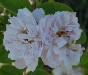 les fleurs du rosier mousseux quatre saisons blanc mousseux
