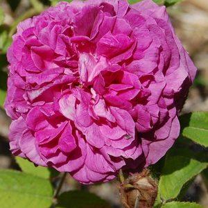 la fleur pourpre du rosier Robert le Diable à la roseraie de gérenton