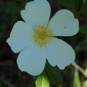 La fleur du rosier botanique rosa agrestis à laroseraie degérenton