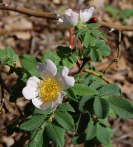 corymbifera en fleur à la roseraie de gérenton à Bédoin
