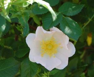 rosa canina tomentella en fleur à la roseraie de gérenton