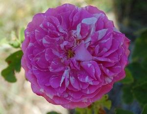 la fleur du rosier rosa centifolia variegata à la roseraie de gérenton
