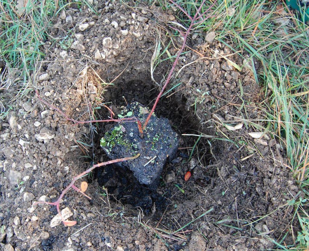 Le rosier dans son trou de plantation à la roseraie de gérenton à bédoin