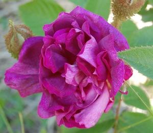 La fleur du rosier William Lobb