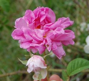 la fleur du rosier York et lancastre de couleur à la fois rose et blanc disponible à la roseraie de Gérenton ou sur le site roses-anciennes-du-ventoux.com