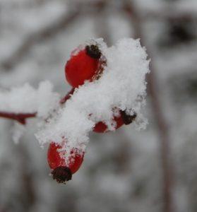 les églantines de la roeraie de gérenton prises dans la neige