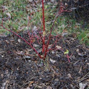rosier paillé neige d'avril au chaud sous les feuilles à la roseraie de gérenton