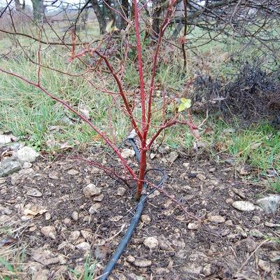 le rosier neige d'avril bien désherbé au pied à la roseraie de Gérenton