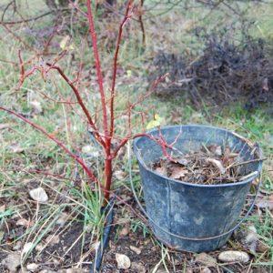 retirage de la vieille paille au pied du rosier neige d'avril à la roseraie de gérenton à Bédoin dans le vaucluse