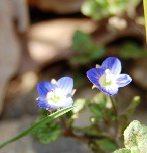 petite fleur bleue de la prairie au soleil de midi à la roseraie de gérenton