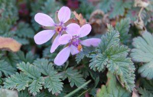 petites fleurs roses à la roseraie de gérenton à bédoin