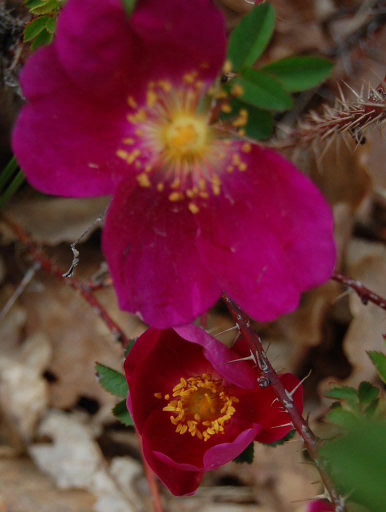 le rosier nelly kelly à la roseraie de gérenton