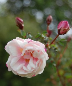 la fleur de rosa spinosissima double blush visible à la roseraie de gérenton