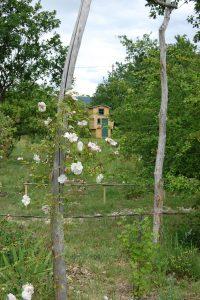 Le rosier Adélaîde d'orléans collection de la roseraie de gérenton