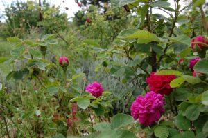roses de rescht en bouton et en fleur de la collection de la roseraie de Gérenton