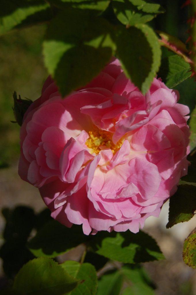 Le rosier Belle amour rosier ancien du groupe des Damas et des Alba à la roseraie de Gérenton roseraie dans le vaucluse au pied du Mont Ventoux