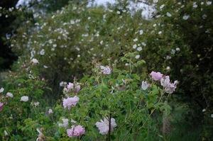 Celsiana rosier de damas à la roseraie de Gérenton à Bédoin