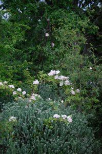2léonore Berkeley rosier multiflore de la roseraie de Gérenton